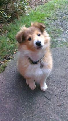 """Sheltie  This looks like """"Lucky Pup"""", that we got at the shelter."""