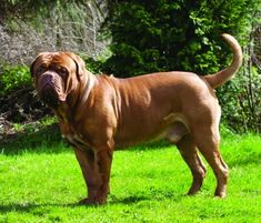 Anne-Marie Class shares 10 Things To Know Before Judging The Dogue De Bordeaux. Modern Molosser  |  www.modernmolosser.com