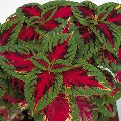 Superfine Rainbow Color Pride coleus - Annual Flower Seeds