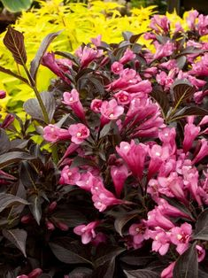 Great No-Prune Shrubs | HGTV 'Dark Horse' Weigela  Dark bronze leaves paired with purplish-pink spring blooms give 'Dark Horse' Weigela florida head-turning good looks. Flowers beckon hummingbirds to plants that grow 36 inches tall and wide. This small weigela is versatile in the landscape. Use