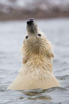 Ours polaire - Ursus maritimus - Polar bear