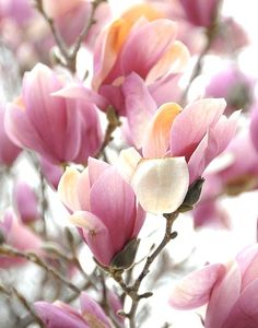 Magnolia Tree.  Beautiful blossoms in the Spring.   My grandpop's favorite tree.  He loved when the tree was in full bloom.