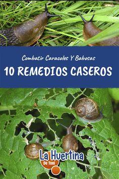 10 Maneras de Combatir Los Caracoles Y Babosas En La Huerta - La Huertina De Toni Eco Garden, Garden Deco, Garden Pests, Garden Care, Green Garden, Edible Garden, Organic Farming, Organic Gardening, Gardening Supplies