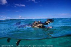 Saltwater crocodile, Papua New Guinea: largest crocodile, deadliest maneater.