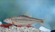 Srovinė aukšlė Alburnoides bipunctatus 9-12cm  B. KARPIAŽUVĖS – CYPRINIFORMES  ŠM. Karpinės – Cyprinidae  Šoninė linija išlinkusi, po ja juodų taškų eilutė,todėl atrodo dviguba. žvynai ploni, akys didelės.