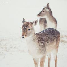 Des chevreuils sous la neige / Deer in the snow Nature Animals, Baby Animals, Cute Animals, Amor Animal, Mundo Animal, Beautiful Creatures, Animals Beautiful, Hello Beautiful, Beautiful Images