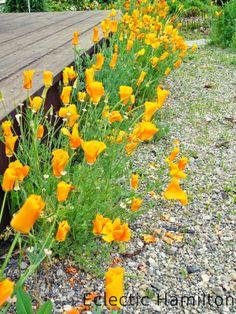 Kalifornischer Goldmohn. California Poppy. http://eclectichamilton.blogspot.de/