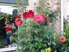 Zomer2015  tuin hibiscus 8 bloemen hoog 2meter