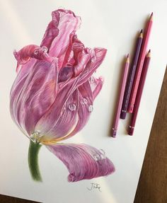 "39 Likes, 2 Comments - @jrose_may on Instagram: ""#colorpencil #botanicalart #수채색연필 #보태니컬아트 #튤립"""