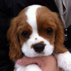 cavalier king charles spaniels puppy. :) what a face!