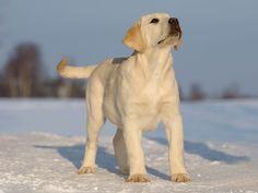 Labrador Retriever opawz.com supply pet hair dye,pet hair chalk,pet perfume,pet shampoo,spa....