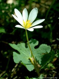 Bloodroot: used in herbal medicine in very small doses, mainly for bronchial problems and severe throat infections. The root is used in many pharmaceuticals, mixed with other compounds to treat heart problems, dental applications (to inhibit plaque), and to treat migraines.