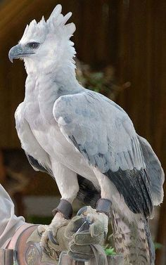 Harpy Eagle world's largest & most powerful bird