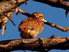 Coruja-Buraqueira --{ Birds }--