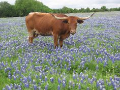 Two things Texas is known for: Bluebonnets & the Longhorns.