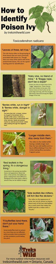 How to Identify Poison Ivy #poisonivy #identify