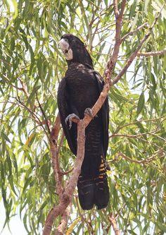 Red-tailed Black Cockatoo (Calyptorhynchus banksii). Female, Northern Territory.