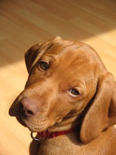 Vizslas aren't just cute. They are WONDERFUL hunting dog and make a awesome friend ♡♥♡♥♡♥♡♥♡♥