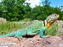 Eastern collard lizard or Common collared lizard