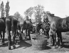 British cavalry horses being watered from barrels, Aisne area, September 1914.