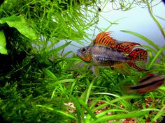 Apisto macho | Flickr - Photo Sharing!
