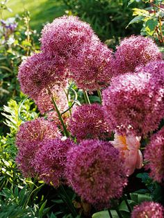 Allium Globemaster -- these are amazing, stunning in bloom and they make a beautiful (huge) dried flower.