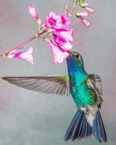 This male Broad-billed Hummingbird was photographed in Madera Canyon Arizona.