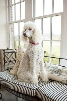 {©Barbara O'Brien} A Regal Poodle!