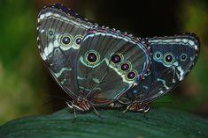 Morpho, Peleides, Mariposa, Mariposas, Insectos