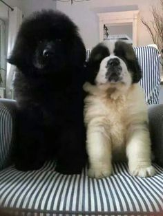 I want a newfoundland too - and throw in A Bernese Mt Dog ! what a threesome that would be. Best Dog For Scared Child. Make Me Smile. Continue with the details at the image link. Large Dog Breeds, Best Dog Breeds, Cute Baby Animals, Animals And Pets, Cute Puppies, Cute Dogs, Labrador Golden, Terra Nova, Newfoundland Puppies