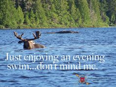 Bull moose swimming on Maine pond.