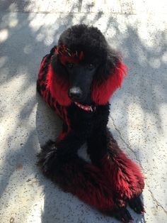 Dog Grooming Styles, Poodle Grooming, Pet Grooming, Dog Hair Dye, Dog Dye, Micro Teacup Poodle, Dogo Argentino Dog, Puppy Haircut, Poodle Hair