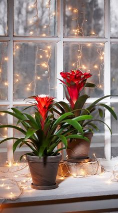Kodin1, Elämäni koti, Näin hoidat joulukukkia #elamanikoti