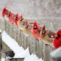 striking formation of male and female northern cardinals in this photo from reader Carol Estes of LaPorte, IN. Pretty Birds, Love Birds, Beautiful Birds, Animals Beautiful, Stunningly Beautiful, Bird Pictures, Animal Pictures, Birds Photos, Animals And Pets