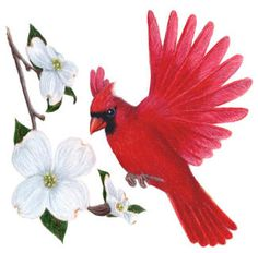 NC state bird the Cardinal, state flower the Dogwood