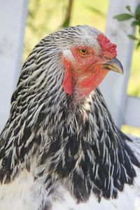The Old Fashioned Way: The Basics of Poultry Keeping