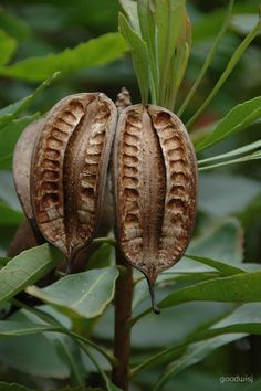 Rhododendron Seed Pods by goodwisj