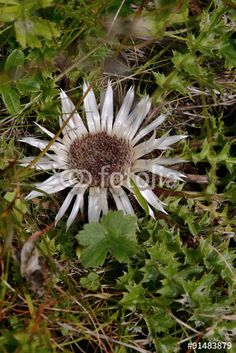 Silberdistel Plants, Pictures, Meadow Flowers, Royalty Free Images, Honey, Alps, Plant, Planets