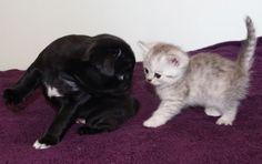 Cute Black Pug Puppy & Kitten