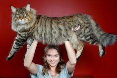 20 największych kotów świata... Żeby wykarmić