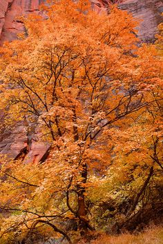 Dogwood In Autumn, Zion Canyon , Zion National Park; photo by Stephen Vecchiotti