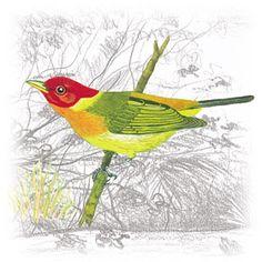 Saíra-da-Mata (Hemithraupis ruficapilla)