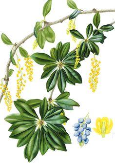 IŞIK GÜNER Botanical Art. Berberis valdiviana. Chile.