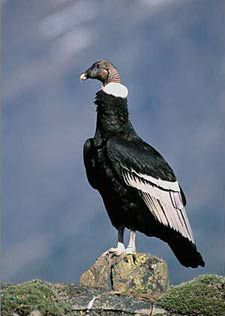Cóndor andino (Vultur gryphus) es una especie de ave Sudamericana de la familia de buitres del nuevo mundo Cathartidae y es el único miembro del género Vultur. Encontrado en las montañas de los Andes y adyacentes costas del Pacífico de América del sur occidental, tiene el wingspan más grande (en 3,2 m o 10,5 pies) de cualquier ave de la tierra.