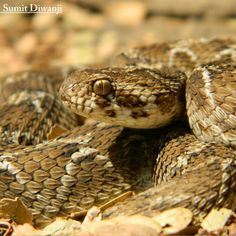 a picture and name of wisconsin snakes google search plainbelly