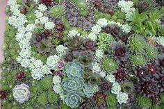 A tapestried planting of Echeveria elegans, E. derenbergii, Sempervivum 'Purple Fuzzy'. S.soboliferum, S. calcareum tectorum, and a purple leafed hybrid Sempervivum. Photo: Robin Stockwell