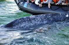 A curious gray whale approaches our Zodiac in Baja California. Photo ©Bette Lu Krause