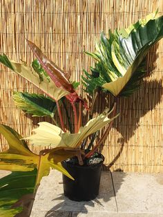 Easy To Grow Houseplants Clean the Air Philodendron Ring Of Fire Plant In 6 Pot Kens Philodendrons Unusual Plants, Rare Plants, Easy To Grow Houseplants, Large Flower Pots, Starting A Garden, Herbs Indoors, Different Plants, Tropical Plants, Indoor Plants