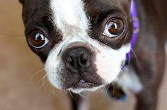 Boston Terrier Kitzi