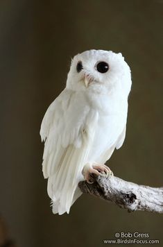 Cotton, the albino Eastern Screech Owl.